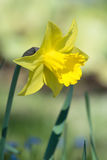 Yellow daffodil flower blooming in spring Stock Photography