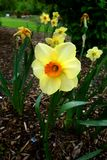 Yellow daffodil flower blossom Stock Photos