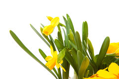 Yellow Daffodil flower in closeup Stock Photo