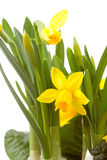 Yellow Daffodil flower in closeup Stock Photography