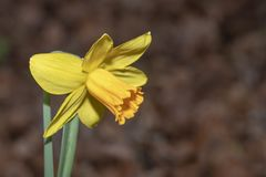 Yellow daffodil flower. Closeup of a Yellow daffodil flower against a blurry dead and dried leafs background royalty free stock image