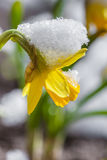 Yellow daffodil flower covered snow stock image