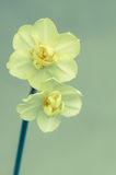 Yellow daffodil flower Stock Images