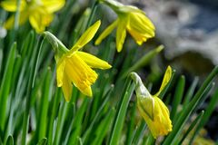 Yellow daffodil flower in the field. The yellow daffodil flower in the field Royalty Free Stock Images