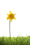 Yellow daffodil flower and grass isolated on white Stock Photos