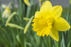 Yellow daffodil flower growing in spring Stock Images