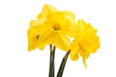 Yellow daffodil flower isolated Stock Images