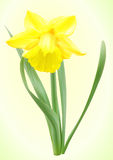 Vector narcissus flower. Yellow daffodil flower with leaves, vector Royalty Free Stock Image