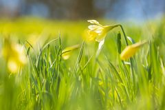 Yellow Daffodil flower or Lent lily, Narcissus pseudonarcissus, blooming in a green meadow. During Springtime on a sunny day and clear blue sky royalty free stock photo