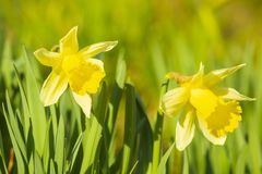 Yellow Daffodil flower or Lent lily, Narcissus pseudonarcissus, blooming in a green meadow. During Springtime on a sunny day and clear blue sky royalty free stock image