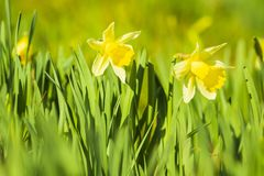 Yellow Daffodil flower or Lent lily, Narcissus pseudonarcissus, blooming in a green meadow. During Springtime on a sunny day and clear blue sky royalty free stock images