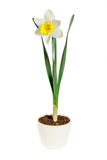 Yellow daffodil in a flower pot on white background Stock Photos