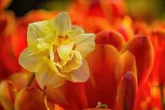 Yellow daffodil flower surrounded by red tulips Stock Photography