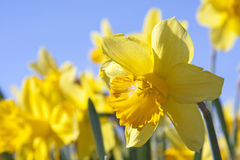 Yellow daffodil flowers Stock Images
