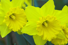 Yellow daffodil flowers. Macro view of yellow narcissus or daffodil flowers in bloom Royalty Free Stock Photos