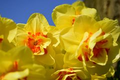 Yellow daffodil flowers blooming in the spring. Stock Image