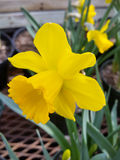 Yellow daffodil. Flowers on display in the greenhouses at Elizabeth park in Hartford, CT Royalty Free Stock Photos