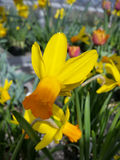 Yellow daffodil. Flowers on display in the greenhouses at Elizabeth park in Hartford, CT Stock Photos