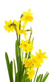 Yellow daffodil flowers in full bloom Royalty Free Stock Photos