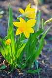 Yellow daffodil flowers in garden Royalty Free Stock Photo
