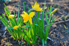 Yellow daffodil flowers in garden Royalty Free Stock Image
