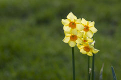Yellow daffodil flowers in the garden in the sun. Royalty Free Stock Image