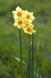 Yellow daffodil flowers in the garden in the sun. Stock Photos