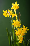 Yellow daffodil flowers with green background Royalty Free Stock Image