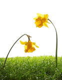 Yellow daffodil flowers and green grass on blue background Royalty Free Stock Photo