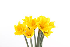 Yellow Daffodil flowers Stock Photos
