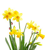 Yellow daffodil flowers and ladybugs Royalty Free Stock Photos