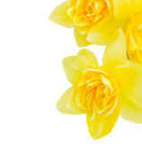 Daffodil flowers close up Stock Photography
