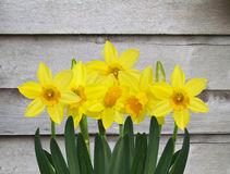 Yellow daffodil flowers with old grey wooden wall Stock Photography