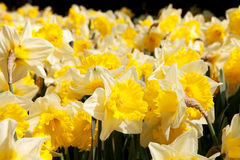 Yellow Daffodil flowers Royalty Free Stock Images