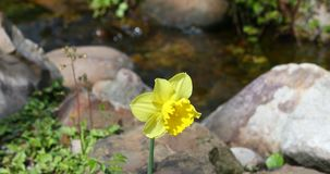 Yellow daffodil in front of a stream. This is a video of a yellow daffodil flower in front of a stream stock footage