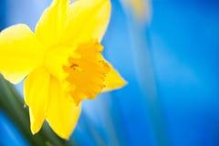 Yellow daffodil in the garden Stock Photos