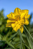 Yellow daffodil in garden. Royalty Free Stock Photography
