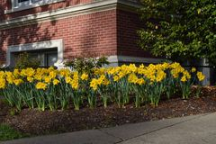 Yellow Daffodils Garden Brick Building royalty free stock photography