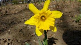Yellow daffodil in garden Royalty Free Stock Image