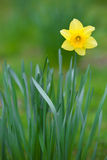 Yellow Daffodil. A genus of predominantly spring perennial plants in the Amaryllidaceae (amaryllis) family royalty free stock photos