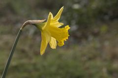 A daffodil on a sunny day royalty free stock photo