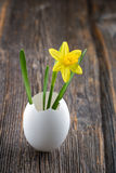 Yellow daffodil in a white egg shell Stock Images