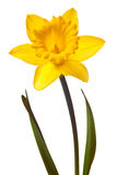 Yellow daffodil isolated Stock Image