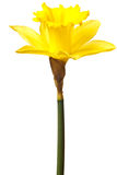 Yellow daffodil isolated Stock Images