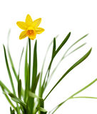 Yellow daffodil isolated on white. Yellow narcissus on spring glade isolated on white backround Stock Photography