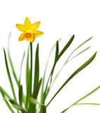 Yellow daffodil isolated on white. Yellow narcissus on spring glade isolated on white background Stock Photo