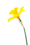 Yellow daffodil isolated on white Royalty Free Stock Photography