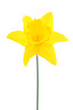Yellow daffodil isolated on white Stock Photo