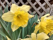 Yellow Daffodil by a lattice Stock Images