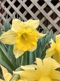 Yellow Daffodil by a lattice Royalty Free Stock Images